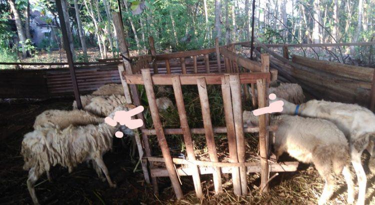 aqiqah di semarang, aqiqah semarang, asal kambing gibas, ciri kambing gibas, ciri kambing gibas bagus, ciri kambing gibas yang bagus, foto kambing gibas,