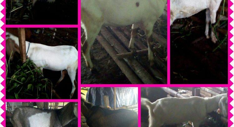 kambing jawa,kambing jawa super,kambing jawa randu,kambing jawa randu super,kambing jawa jantan,kambing jawa asli,kambing jawa besar,kambing jawa betina,kambing jawa adalah,harga kambing jawa anakan,kambing jawa randu adalah,kambing jawa randu anakan,kambing jawa biasa,kambing jawa bagus,kambing etawa blasteran jawa